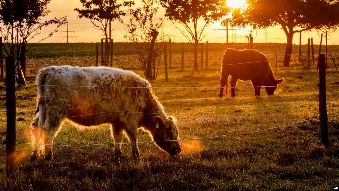 Las vacas pastan en un recinto cerca de Frankfurt, Alemania, mientras sale el sol para un día soleado y cálido de verano el domingo 11 de agosto de 2019 (AP Photo / Michael Probst).